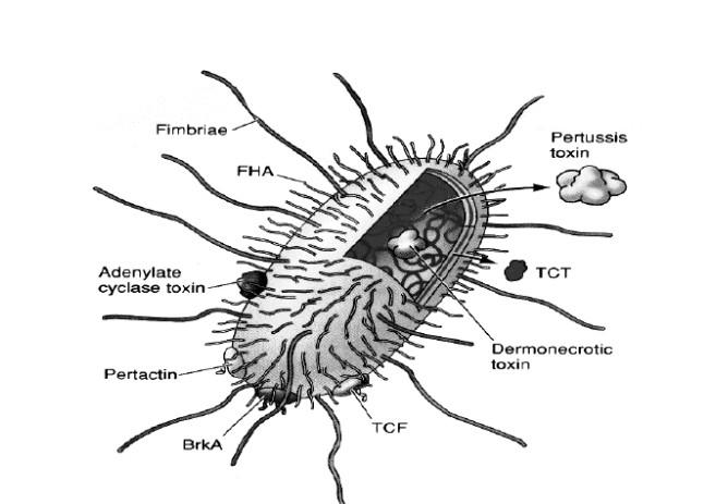 adhesinas toxinas tosferina dibujo