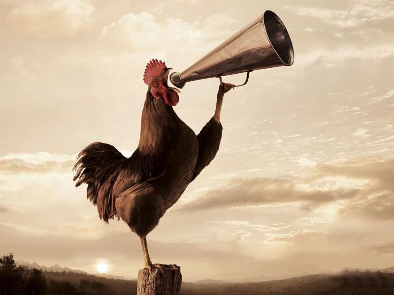 gallo canta