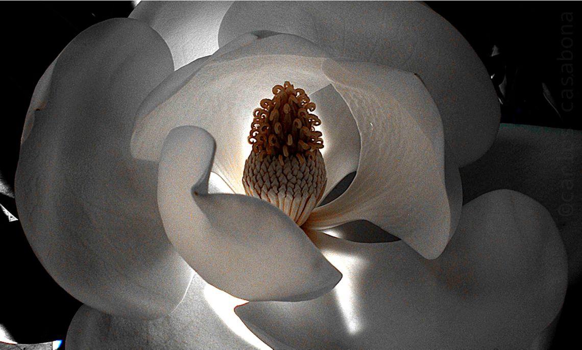 magnolia en la alhambra versión blanca 250 dpi copia.JPG