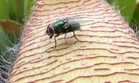 mosca-stapelia-muy-cerca